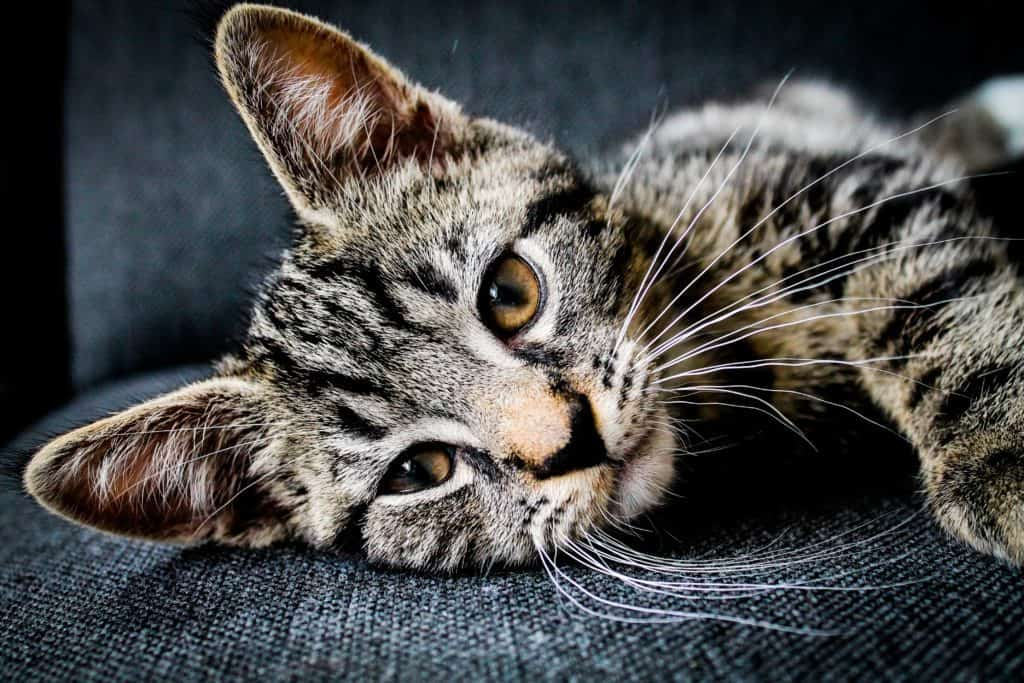 a pensive cat on a clean couch | Quality Counts Cleaning
