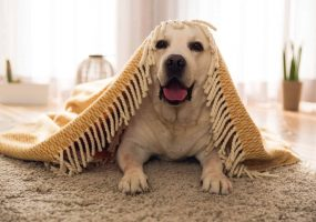 Cute dog smiling on clean carpet | Quality Counts Carpet